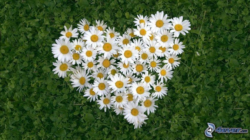 hjärta av blommor, prästkragar