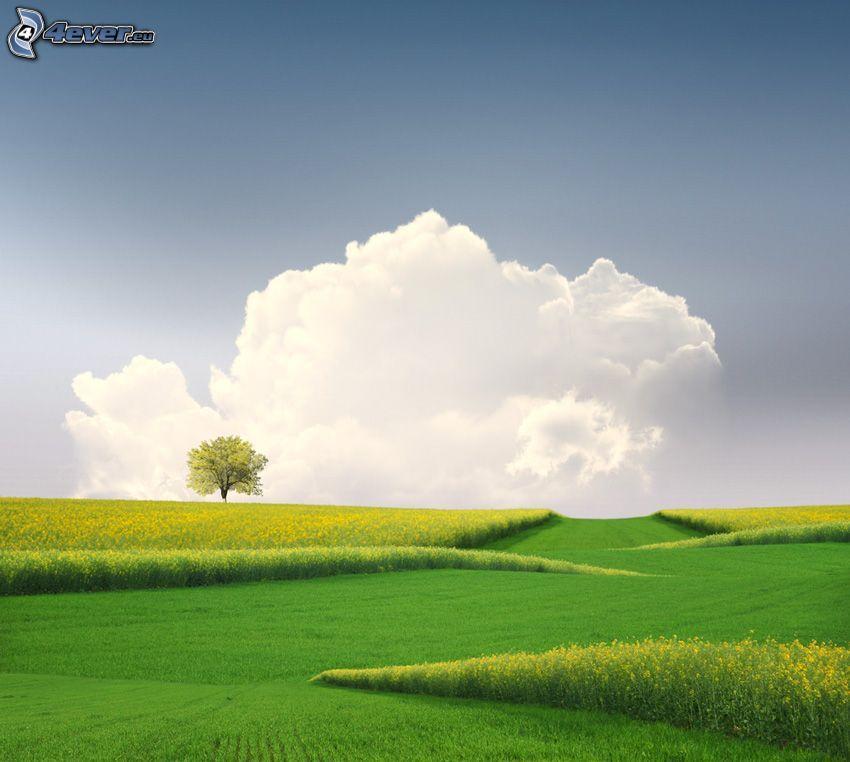åker, raps, ensamt träd, moln
