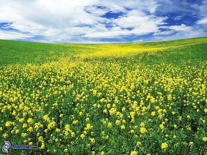 äng, gula blommor, himmel