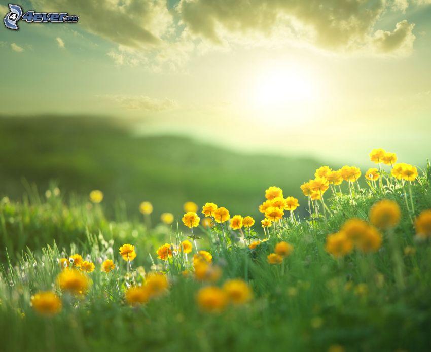 äng, gula blommor, sol