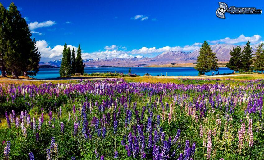 äng, lupiner, sjö, träd, bergskedja