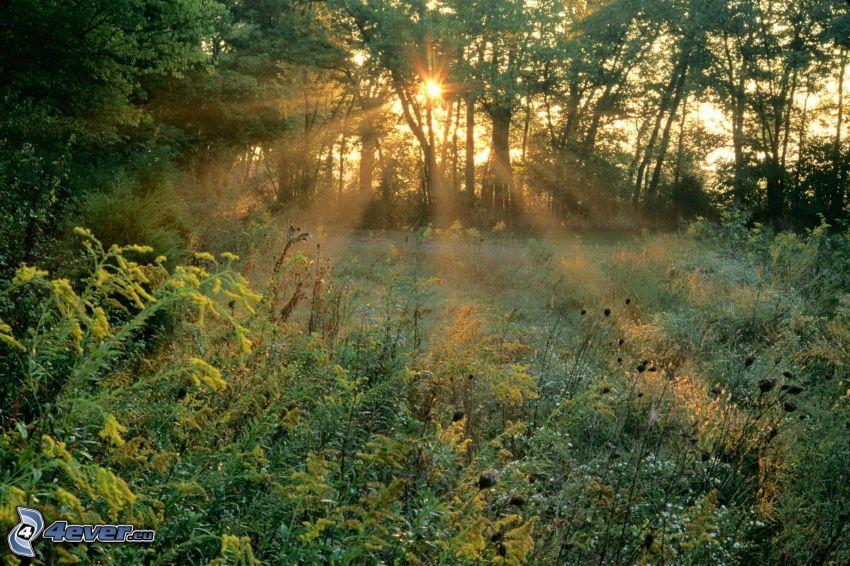 äng, skog, solnedgång, solstrålar i skog