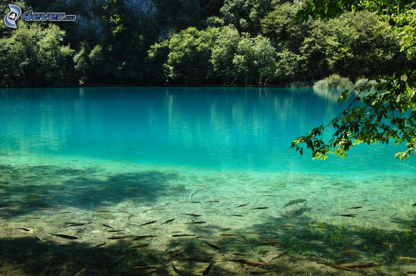 azurblå sjö, fiskstim, gröna träd
