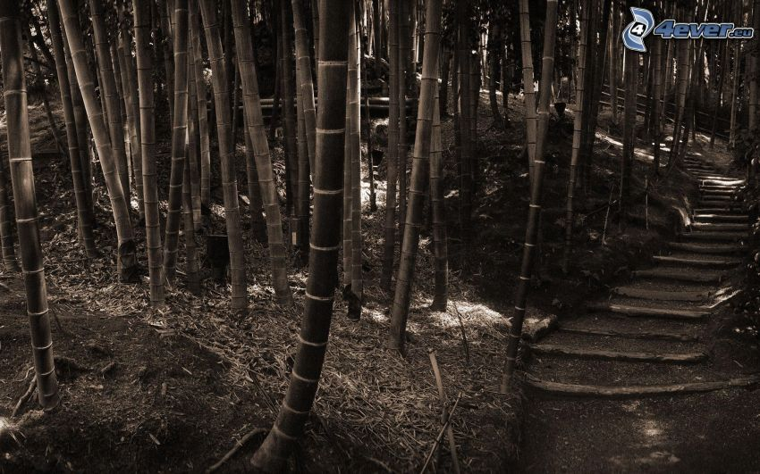 bambuskog, stig genom skog, svartvitt foto
