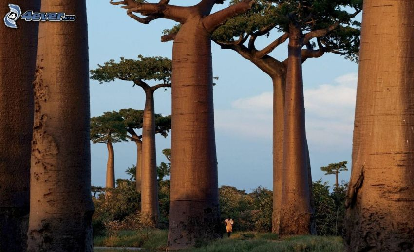 baobaber
