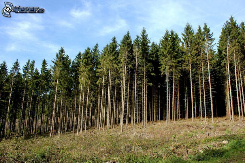 barrskog, trädstammar