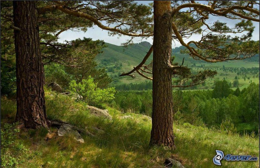 barrträd, stam, utsikt över landskap