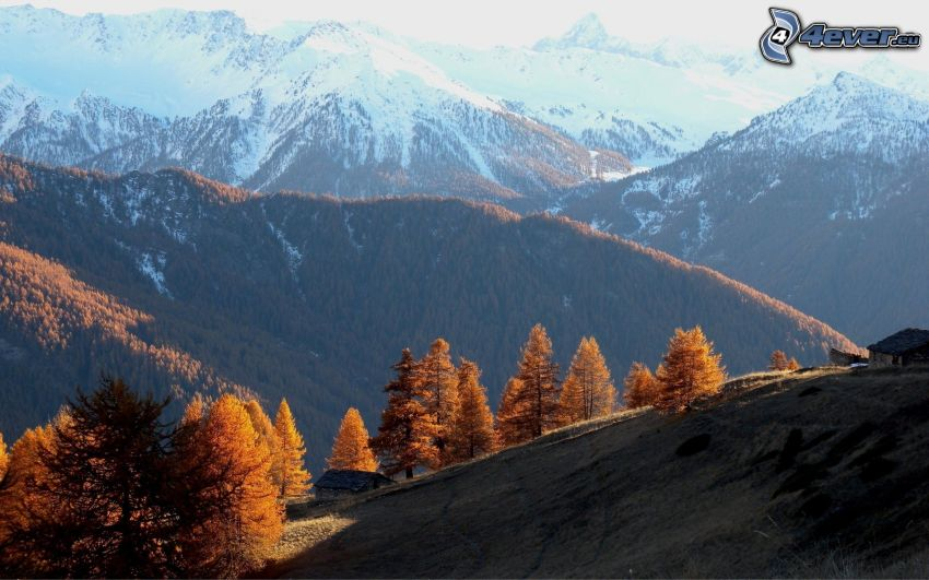 gula träd, snöklädda berg