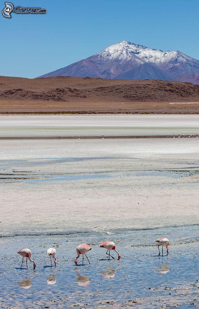 Kronotsky vulkanen, flamingos