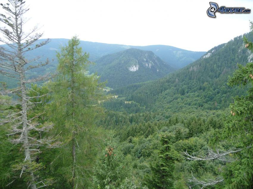 Malá Stožka, Muránska planina, Slovakiska malmbergen, skog, kulle, bergstopp, barrträd