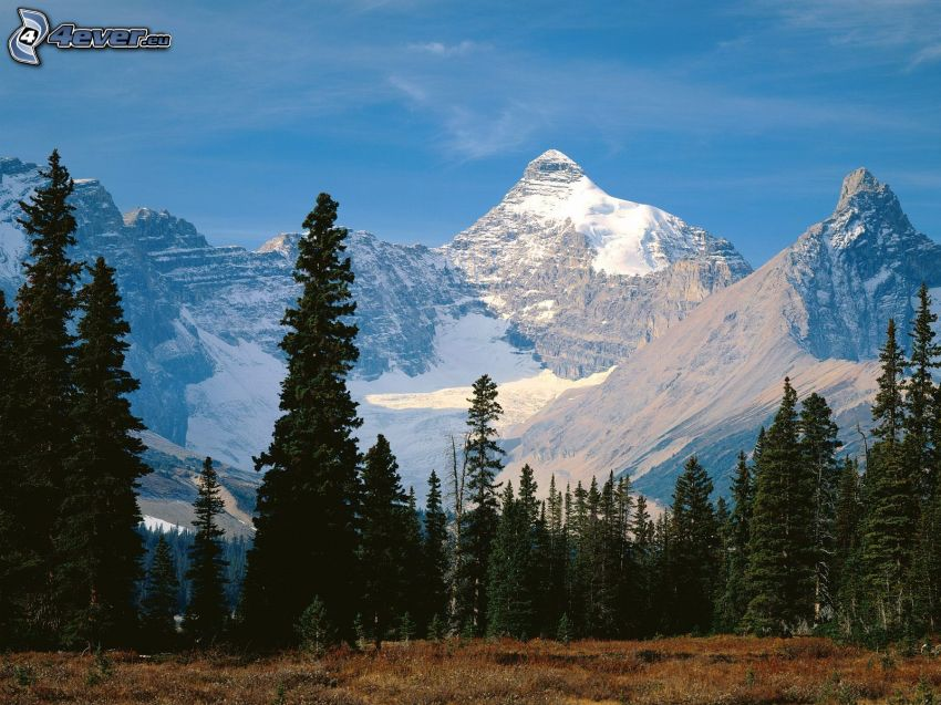 Mount Athabasca, Jasper nationalpark, snöigt berg, barrträd