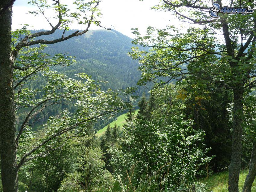 Randavica, Muránska planina, Slovakiska malmbergen, skog, kulle, bergstopp, träd