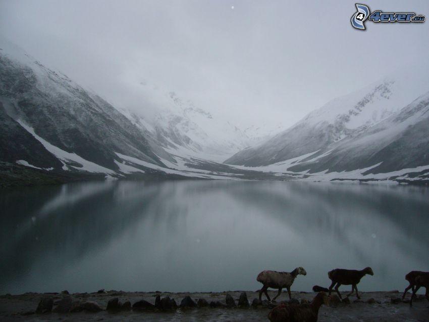 sjö, snöklädda berg, får, dimma
