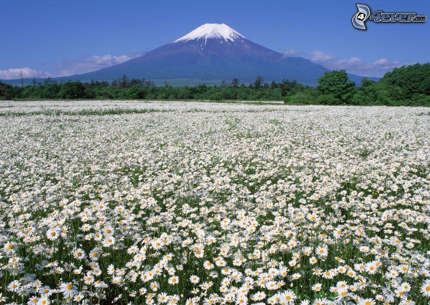 berget Fuji, äng, prästkragar, snö