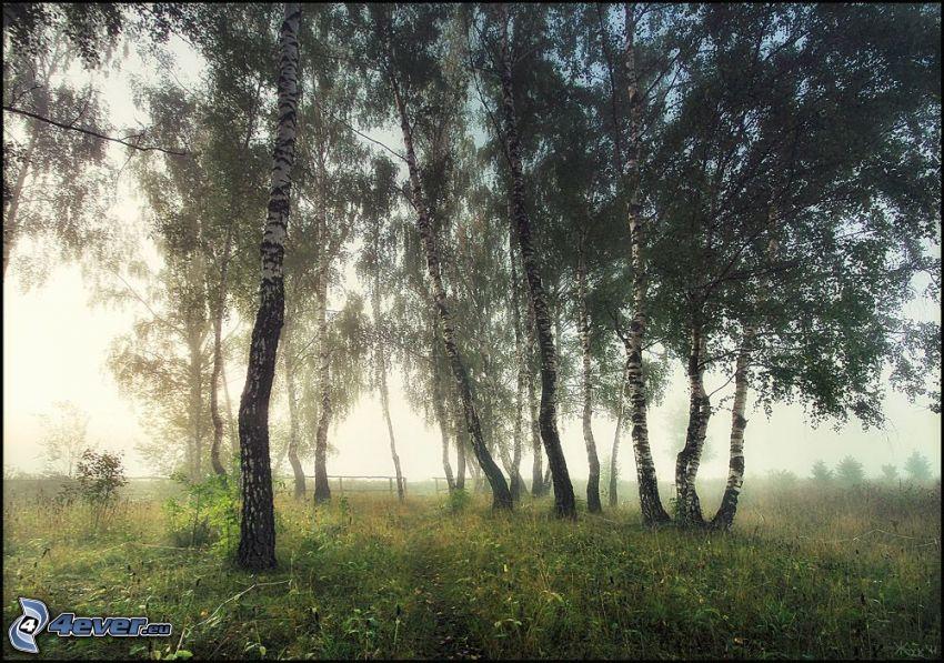björkar, gräs, dimma