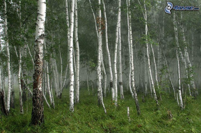 björkskog, gräs, dimma