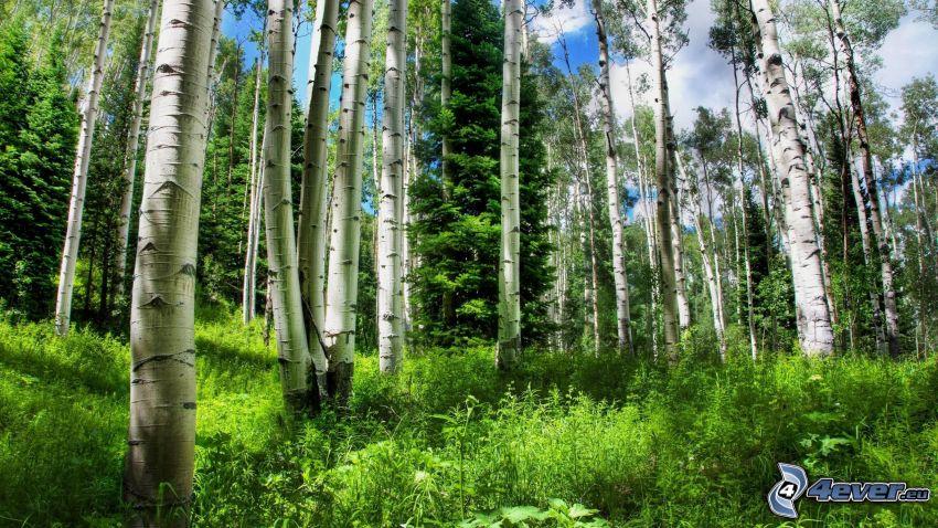 björkskog, grönska, trädstammar