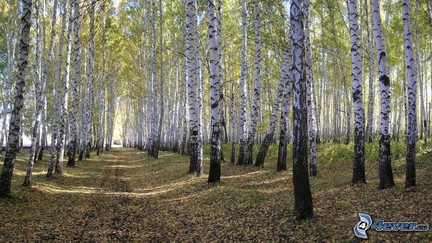 björkskog, skogsväg