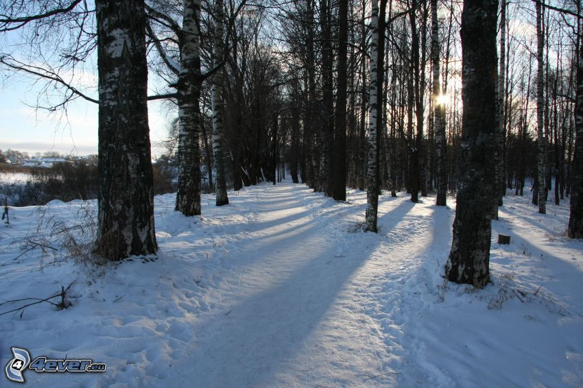 björkskog, snö