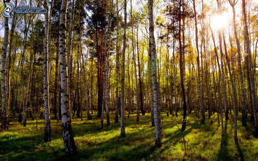 björkskog, sol
