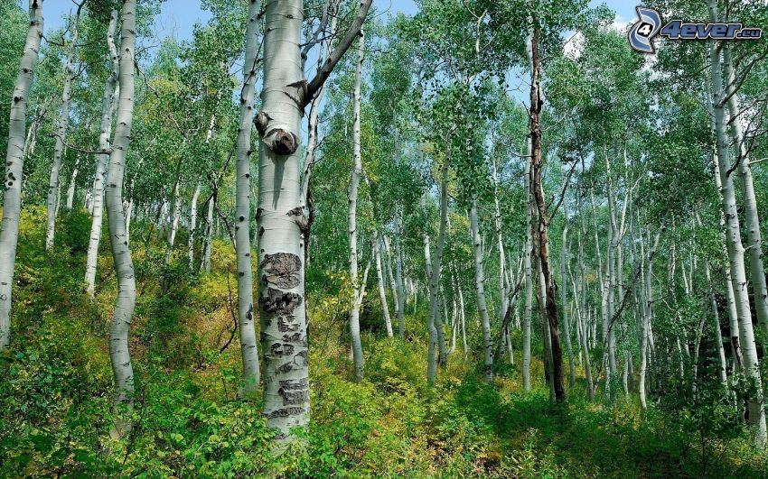 björkskog