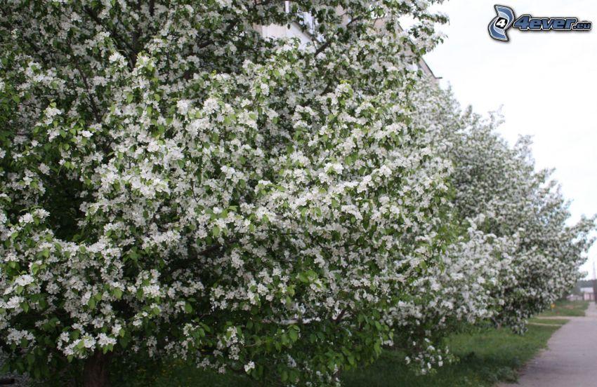 blommande buskar, vita blommor
