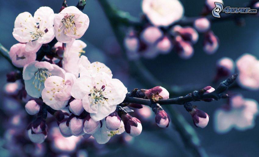 blommande körsbärsträd, blommande kvist, vita blommor