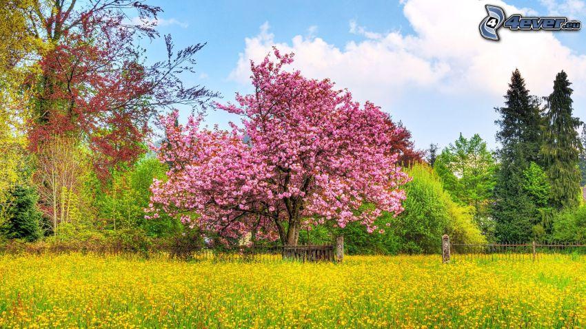 blommande träd, åker, trästaket, HDR