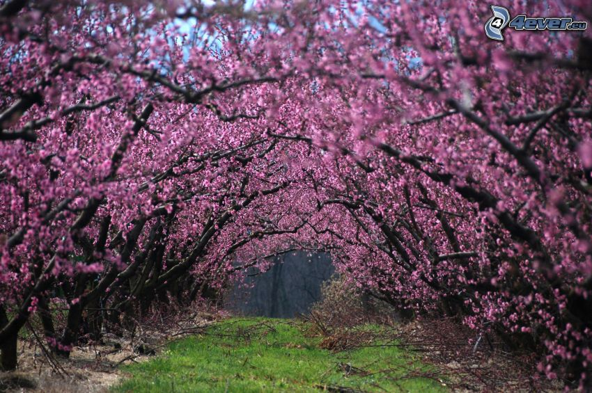 blommande träd, lila träd