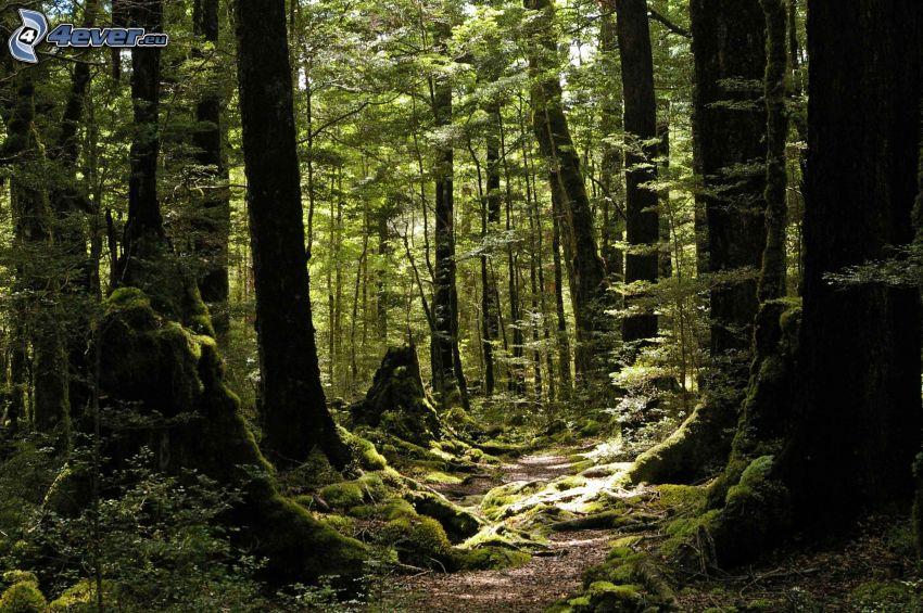 bokskog, skogsväg, grönska