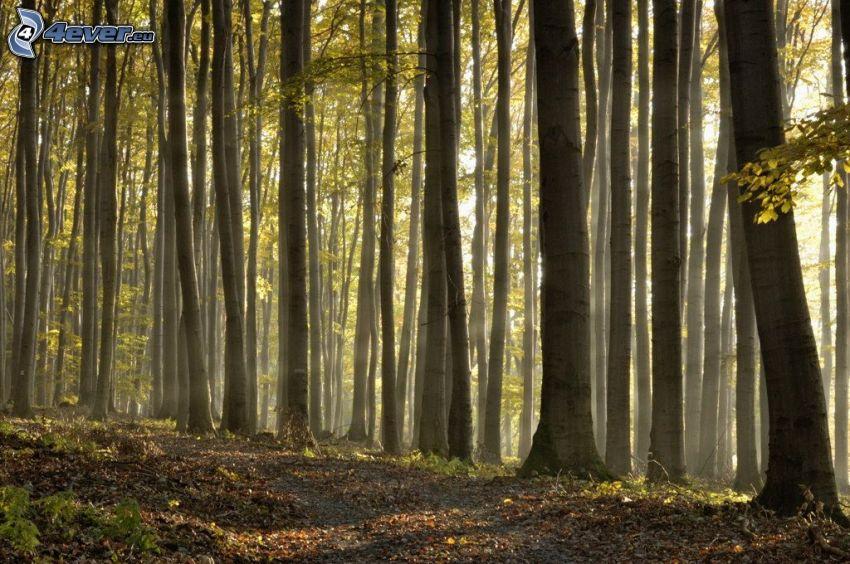 bokskog, solstrålar i skog, skogsväg