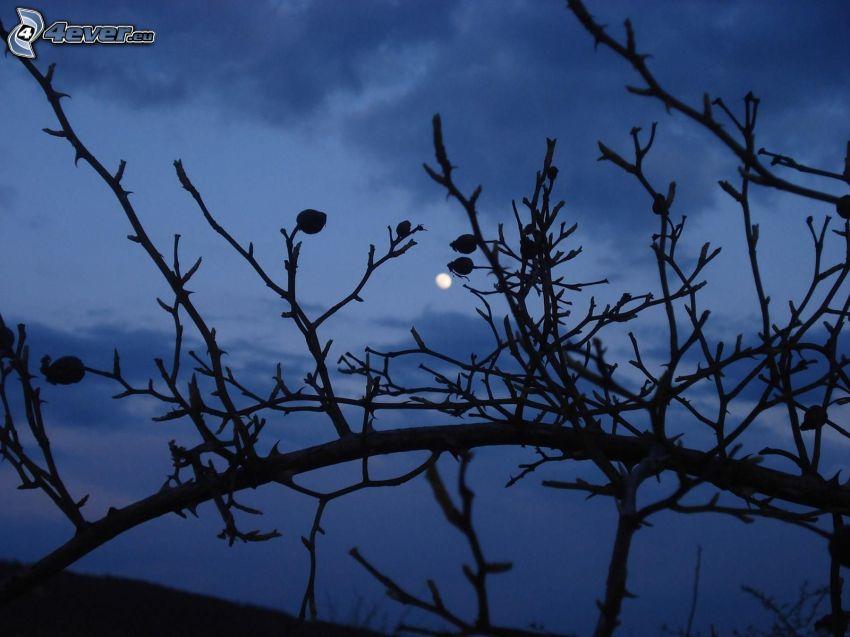 buske, måne