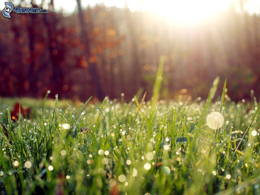 dagg på gräs, solsken