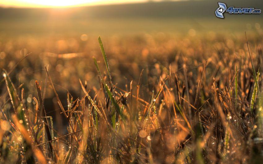 daggdroppar på gräs, äng, soluppgång