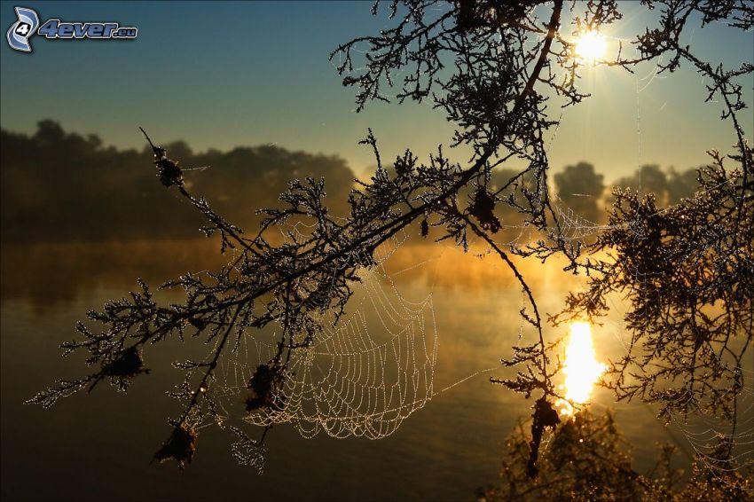 daggtäckt spindelnät, soluppgång, sjö