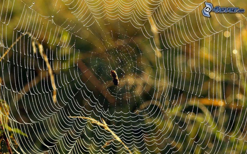 daggtäckt spindelnät