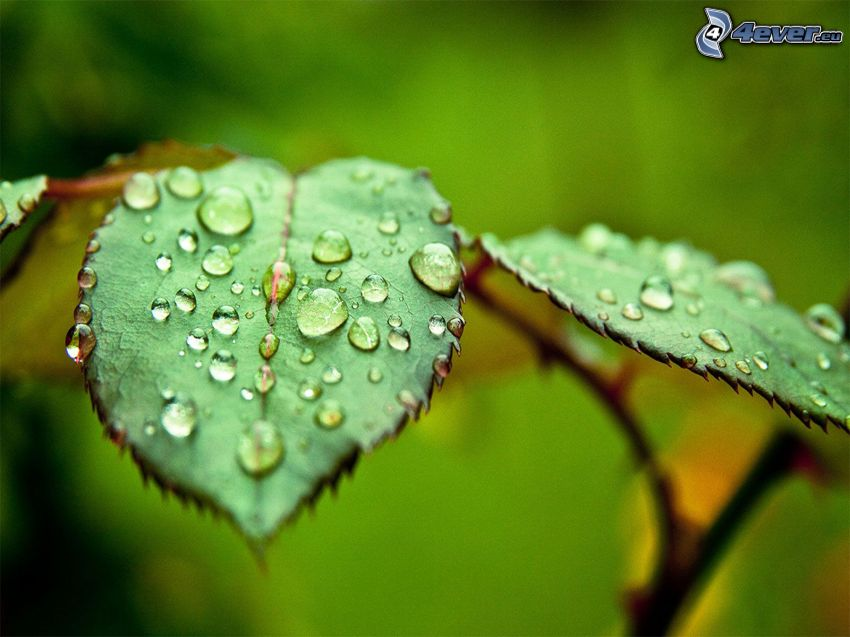 daggtäckta löv