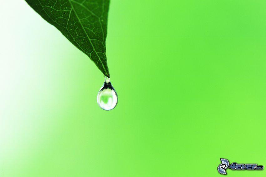 droppe, löv