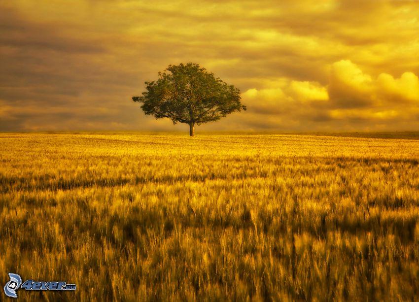 ensamt träd, åker, himmel