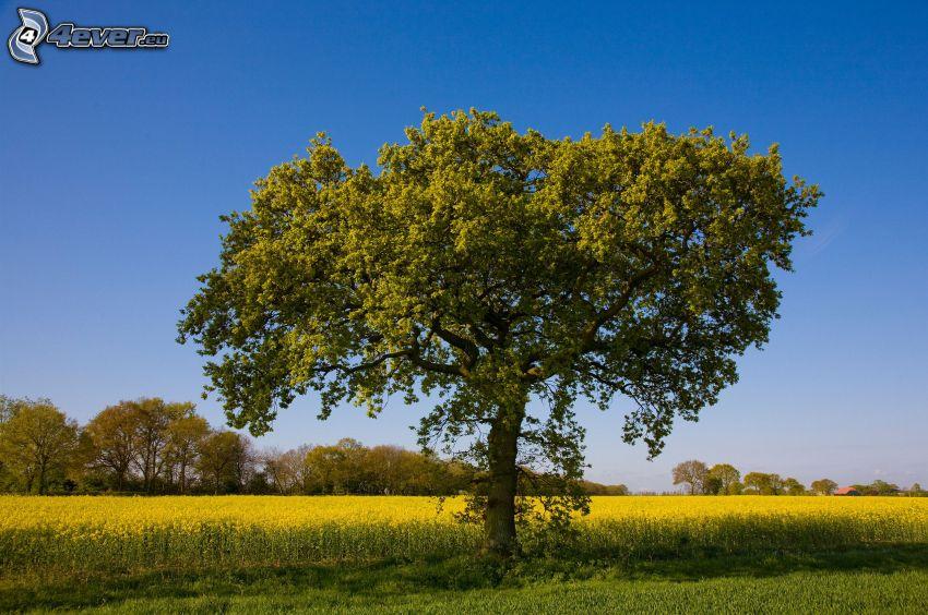 ensamt träd, åker