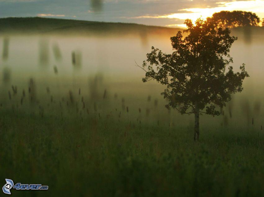 ensamt träd, äng, efter solnedgången, dimma, gräs