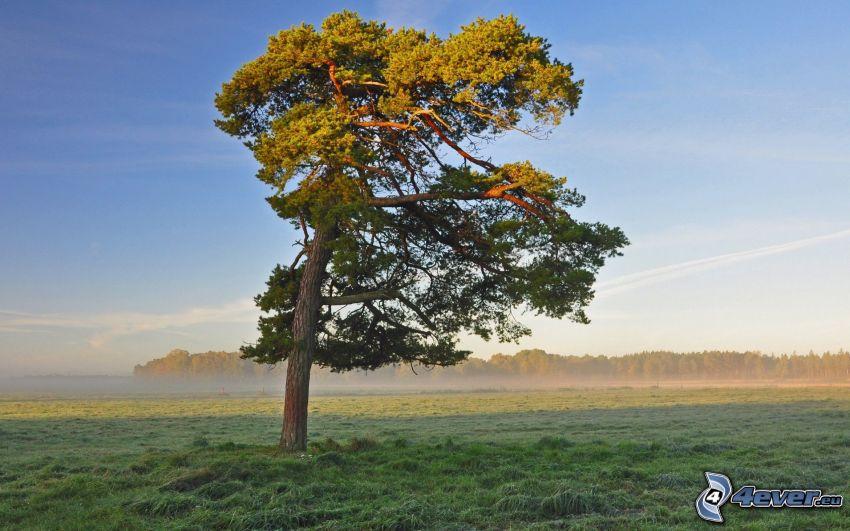ensamt träd, äng