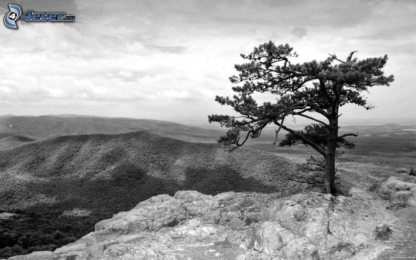 ensamt träd, berg, svartvitt foto