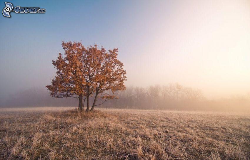 ensamt träd, höstträd, dimma
