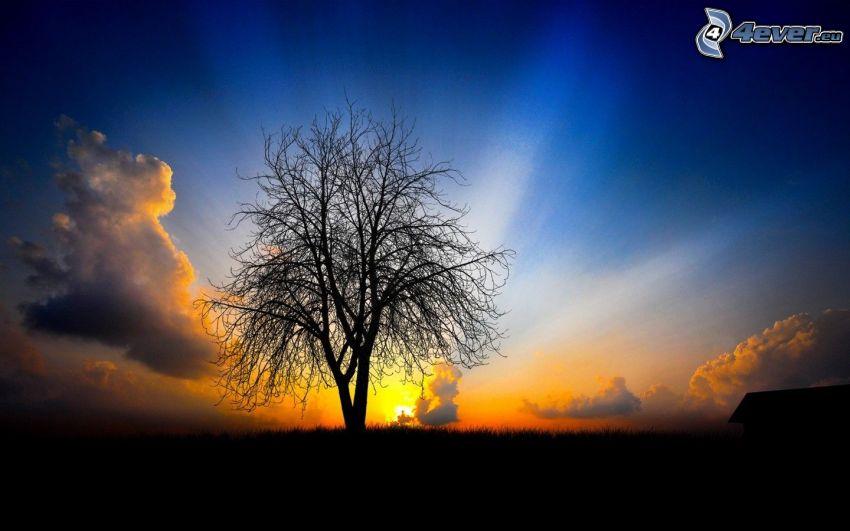 ensamt träd, solnedgång över äng, solstrålar, siluett av ett träd