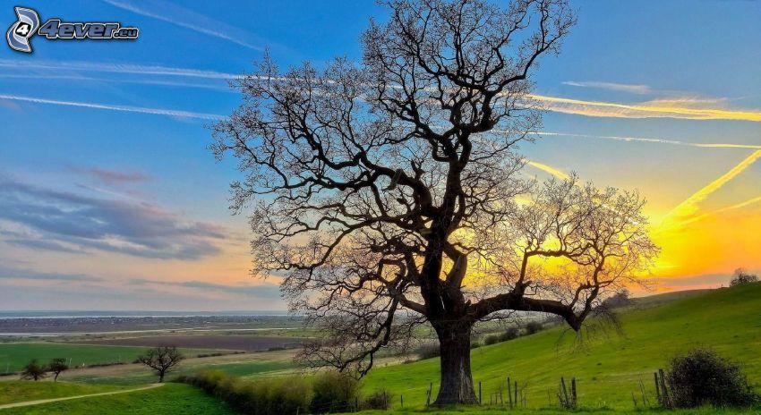 ensamt träd, solnedgång över äng