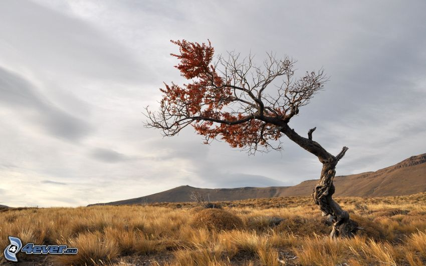 ensamt träd, torrt träd, äng