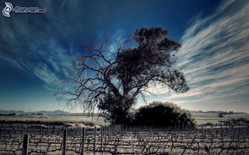 ensamt träd, vingård, himmel, moln