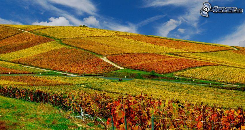 fält, vingård
