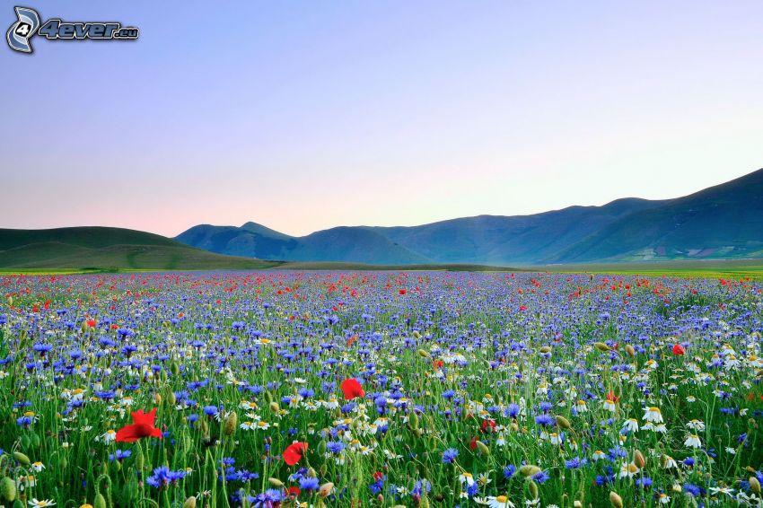 fältblommor, äng, bergskedja